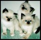chaton-pure-Pure-Race-Males-et-Femelles-id16454b1